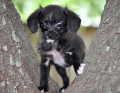 Buchanan is an adoptable Schnauzer Dog in Houston, TX. WE ARE NOT A SHELTER. These four kiddos were rescued from a local shelter before being put to sleep. They are estimated to be about 3 to 4 months...