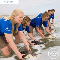 This past Wednesday, SeaWorld returned a group of Kemp's ridley sea turtles to warm Florida waters near Canaveral National Seashore. The sea turtles were suffering from pneumonia and other illnesses stemming from the cold water in Massachusetts where they were rescued last November.  #365DaysOfRescue