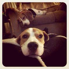 Life is oh so hard! #beagles