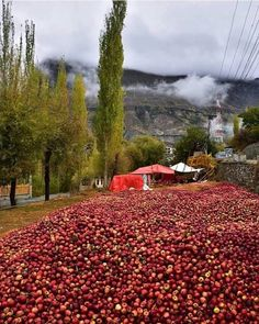 Fresh apples in hunza valley Wanna try?