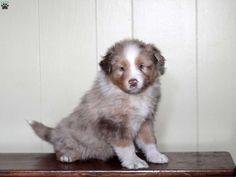 Vinnie, Australian Shepherd Puppy