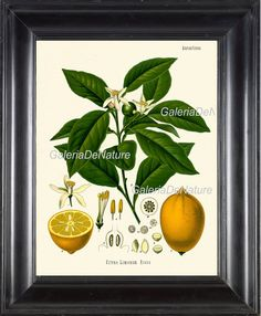 Botanical Print 13 Art Kohler 4x6 5x7 8x10 by GalerieDeNature