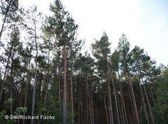 ¿Desaparecerán los bosques de pinos? En Brandenburgo ya se trabaja para que eso…