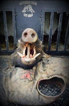 Dirty Dawg Cut Gear Hog Dog Vest, Hog Hunting, Hog Hunting With Dogs www.SouthernCrossCutGear.com Feral Pig, Pig Hunting, Hog Dog, Dog Vest, Cane Corso, Predator, Wild Hogs, Pitbulls, Fun