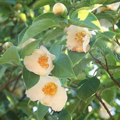 Mountain Stewartia - An elegant small tree with beautiful flowers in midsummer, mountain stewartia is an unusual choice that deserves to be planted more. It's a relatively slow-growing native of Southeastern North America that puts on a terrific fall show when the leaves turn orange and red.