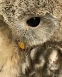 Visit the post for more. Owl Photos, Owl Pictures, Cute Funny Animals, Cute Baby Animals, Baby Owls, Beautiful Owl, Animals Beautiful, Nature Animals, Animals And Pets