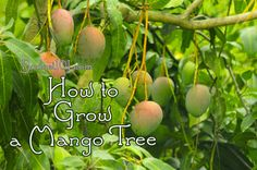 How to Grow Your Own Mango!  The next time you purchase a mango at the grocery store, save the pod, remove the seed and plant it, here's how... (click on photo)