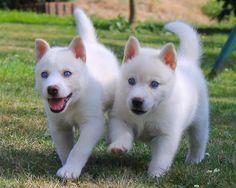 Siberian Husky Pups ~ Classic Look Wolf Husky, My Husky, Husky Pups, Cute Puppies, Cute Dogs, Dogs And Puppies, Pictures Of Siberian Huskies, White Siberian Husky Puppy, Alaska
