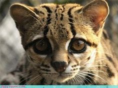 Ocelot - I love cats, large and small, but this one is particularly gorgeous, in my opinion!  I think it's those big, pleading eyes that do it! LOL!  Or maybe that cute nose.....or maybe the beautiful markings....or maybe......LOL