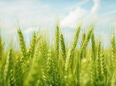 Ce beneficii are cura cu suc de grâu verde Herbs, Herb, Medicinal Plants
