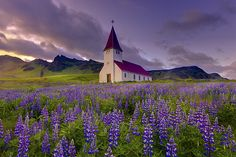 Fields Of Lupine In Iceland by kevin mcneal, via Flickr