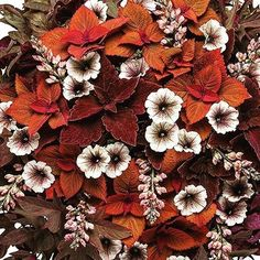 Loving This Gorgeous Plant Combo Inspired By Marsala From Proven Winners Plants With Grabapp Marsala - The Gorgeous Color Named Color Of The Year For 2015 By Pantone - Is A Sensuous Blend Of Deep Purples, Burgundy, And Russet Orange. Beautiful Flowers, Flower Pots, Container Flowers, Foliage Plants, Garden Containers, My Flower, Plants, Plant Combinations, Fall Plants