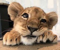 Cute baby lion - ç o k g ü z e l Cute Little Animals, Cute Funny Animals, Cute Cats, Funny Cats, Tier Fotos, Cute Animal Pictures, Cute Creatures, Animals Beautiful, Beautiful Babies