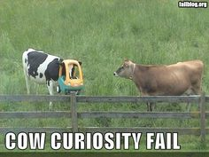 We are sure our lab might have been cow in a past life, and this just reaffirms our observations.