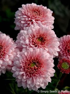 Chrysanthemum Pink Sonja: Flowering a week or so later than others in the series this pink early spray chrysanthemum can be cut from early October.