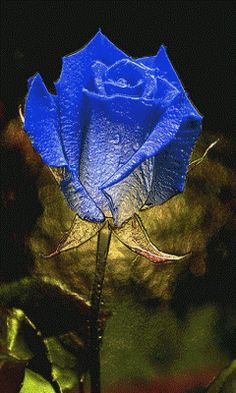 A beautiful rose of many beautiful colors for my amazing sisters!  ♥     GIF ANIMATION PIN