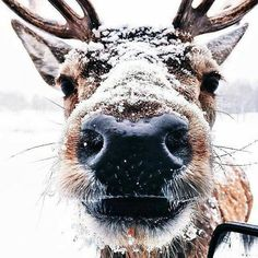 Reindeer, cute, Christmas and winter all in one Animals And Pets, Baby Animals, Funny Animals, Cute Animals, Wild Animals, Forest Animals, Beautiful Creatures, Animals Beautiful, Majestic Animals