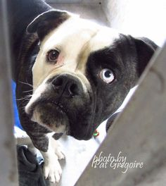 A4829449 I am a very friendly 2 yr old male black/white American Bulldog mix. I came to the shelter as a stray on May 23. available 5/16/15 NOTE: Pit bulls are not kept as long as others so those dogs are always urgent!! Baldwin Park shelter https://www.facebook.com/photo.php?fbid=968794089799095&set=a.705235432821630&type=3&theater