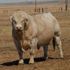 Charolais Bull ... Ya don't want to mess with this guy.