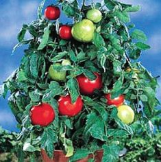 The easy to grow Patio Tomato thrives in pots, patio containers, and small gardens, truly good things can grow in small spaces!