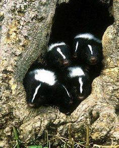 Skunks are mammals known for their ability to spray a liquid with a strong odor. Different species of skunk vary in appearance from black-and-white to brown or cream colored, but all have warning coloration.