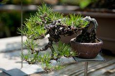 shohin bonsai - Szukaj w Google