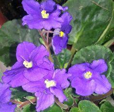 Violets   50th wedding anniversary flower