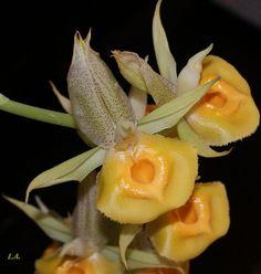 Catasetum (schmidtianum x 'Penang')