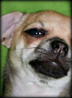 Chihuahuaen Jojo