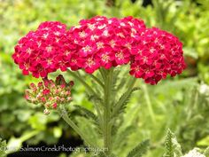 Achillea 'Red Velvet.' Commended as the best of the red Achilleas, this Yarrow's signature is its splendid horizontal mass of velvet-rich dark rosy red flowers
