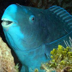 """Este hermoso animal es el pez loro azul. Además de su color azul llamativo, completamente uniforme desde la cabeza hasta la cola, lo que le hace especial es un """"pico de pájaro"""" que utiliza para raspar las algas de las rocas. ¡E incluso tiene dientes que son capaces de convertir las rocas en arena! #dientes #pico #roca #uniforme #raspar #azul #pezloro #pausa http://www.pandabuzz.com/es/animal-del-dia/pez-loro-azul-dientes"""