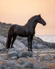 A beautiful black horse never has a black heart - ANONYMOUSE FREE - - Een mooi zwart paard heeft nooit een zwart hart A beautiful black horse never has a black heart Most Beautiful Horses, All The Pretty Horses, Animals Beautiful, Majestic Horse, Majestic Animals, Cute Horses, Horse Love, Black Horses, Wild Horses
