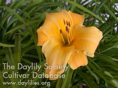 Daylily Channel Islands, free plant from GW