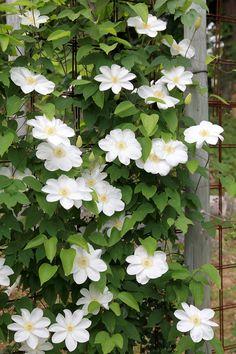 「人気ないけど実は素晴らしい!」クレマチス専門店の及川さんが選ぶ5品種 - GardenStory (ガーデンストーリー)