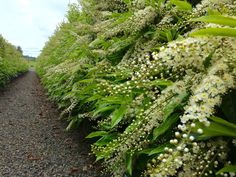 Hedges in a hurry. Some people cherish the challenge of nurturing and shaping rows of tiny plants into established hedgerows. Laurel Hedge, Valley Nursery, Garden Hedges, Flower Containers, Oak Park, Prunus, Back Gardens, Topiary, Nurseries