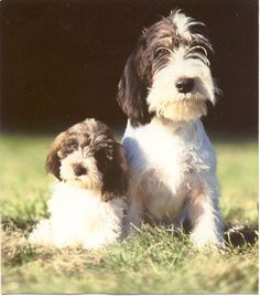 PETIT BASSET GRIFFON VENDEEN Baby Puppies, Cute Puppies, Dogs And Puppies, Dog Pictures, Animal Pictures, Pet Dogs, Dog Cat, Unusual Dog Breeds, Petit Basset Griffon Vendeen