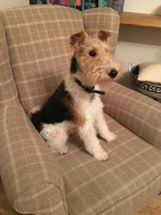 Pip's had his first proper grooming Handsome Pip! Perro Fox Terrier, Wirehaired Fox Terrier, Welsh Terrier, Wire Fox Terrier, Scottish Terrier, Animals And Pets, Cute Animals, Wire Haired Terrier, Smooth Fox Terriers