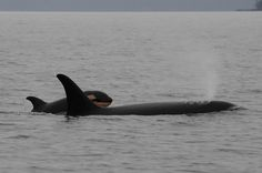 Encounter #7 - Center for Whale Research - OrcaSurvey. J16 Slick with daughter J50. 02/19/15. A beautiful family of orca whales swim together. What Would Captive Orcas Tell Us If They Could Talk? Empty the tanks!! Sick, horrific drilling of their teeth! Inbreeding. Orca. Killer whale. Captivity kills. Boycott marine parks. Get the facts. Protect our majestic oceans and sea life! Sustainable world!