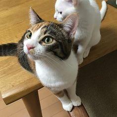 ササミ🐔…。 ササミはまだか? …夜にあげるから、待っててね😭👻 #ペコneko館京都のねこ  #きなこあん姉妹 #ねこ #ねこ部 #ねこすたぐらむ #ネコ #ネコ部 #ネコスタグラム #猫 #猫部 #猫バカ部 #親バカ #猫バカ #キャット #キャットスタグラム #cat #catstagram #三毛猫 #三毛猫ガール #白猫 #白猫ガールにゃんだふるらいふ #にゃんすたぐらむ #愛猫 #にゃんこ #猫との暮らし #猫バカ