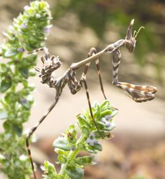kinds of praying mantis | called it the samurai mantis it was so agile and would not stand ...