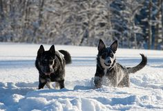 LAPPONIAN HERDER/LAPLAND HERDER