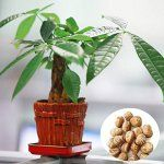 1pcs Pachira Macrocarpa Seeds Garden Office Money Tree Bonsai Potted Plant – BestSeller Products Reviewers