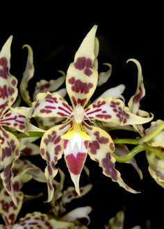 Odontoglossum odoratum from Colombia