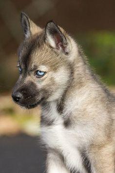 Agouti Husky Puppy