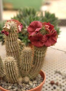 Cactus rara con grandes flores rojas en la olla