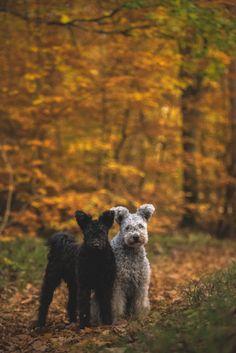 handsomedogs, hungarian pumi