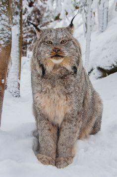 Lynx-w-01202013 by beabss on Flickr.
