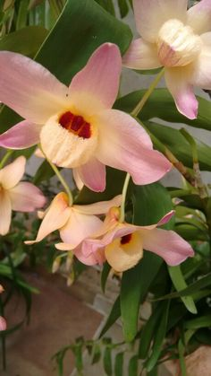 Dendrobium moschatum.