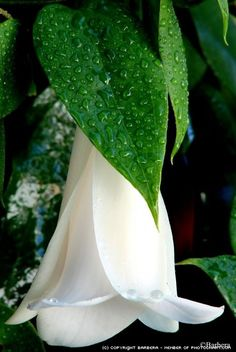 White copihue Show Beauty, Primroses, Shade Plants, Fauna, Flower Art, Plant Leaves, Projects To Try, Nature, Pictures