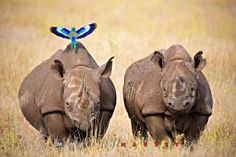 Is the Black Rhino Extinct?